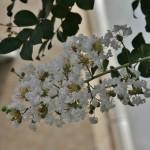 """На латыни это называется Lagerstroemia indica. По-русски - Лагерстрёмия индийская (иногда называют """"индийской сиренью"""")"""