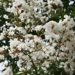 japan_summer_flowers_42