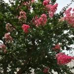 Помимо белой, бывают и разных оттенков розового