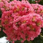 japan_summer_flowers_46