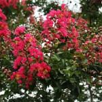 japan_summer_flowers_51