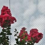 japan_summer_flowers_52