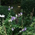 Колокольчики цветут