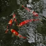 Карпы в пруду сада Муромати