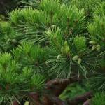 Шишки зеленые
