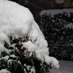 Нандина у крыльца придавлена снеговой шапкой