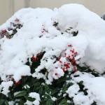 Это куст нандины около нашего дома утром 2-го января. Снег, выпавший накануне, не растаял за ночь